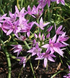 Allium unifolium pack of 25